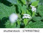 Heliotropium Indicum  Indian...