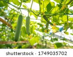Cucumbers Growing In A...