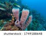 Azure Vase Sponge  Callyspongia ...