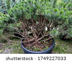 Very Branched Dwarf Coniferous...