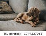 Weimaraner Puppy Dog Funny Face