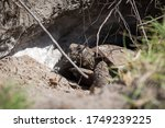 Gopher Tortoise In The Wild