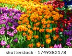 Colorful Tulip Flowers View....
