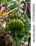 Green Banana Trees With A Bunc...