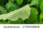 Green Succulent Leaves Of...