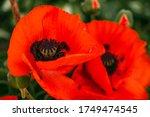 Beautifull Vibrant Huge Poppy...