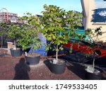 Chestnut Plants And Other...