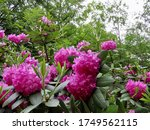 Rhododendron with pink blossoms. Evergreen tree, national flower of Nepal, West Virginia, Washington. Invasive in British Isles.