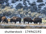 Bison In Winter Yellowstone...