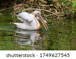 Pelecanus Onocrotalus  Pelican...