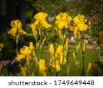 Close Up Yellow Iris Flowers I...