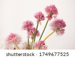 Garlic Pink Flowers On A White...