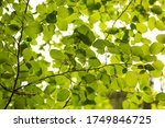 green leaves on a tree branch | Shutterstock . vector #1749846725