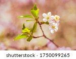 blooming branch of apple tree ... | Shutterstock . vector #1750099265