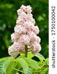 Aesculus Hippocastanum Blossom...