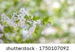 blooming apple tree branch in... | Shutterstock . vector #1750107092