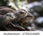 Bunch Of River Otters In A Zoo