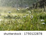Chamomile Daisy Flowers In The...