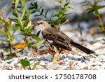 Northern Mockingbird Stands In...