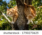 Ginger Cat Slumped Over A...