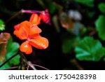 Beautiful Red Geranium Flower...