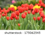 close up tilip flower in the... | Shutterstock . vector #175062545