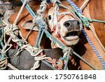 Truck Transport Beef Cattle Cow ...