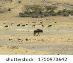 Gnus wildebeest ngorongoro...