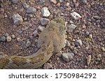 Closeup Of Rattlesnake Head...