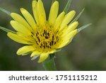 Closeup Of Yellow Salsify Flower