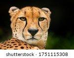 Cheetah face  acinonyx jubatus  ...