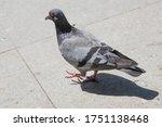 Pigeon Walking On Paving Stones ...