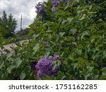 Purple Lilac Blooms In The...