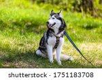 Beautiful Husky Dog   Sits On...