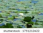 Lilypads Resting On The Pond
