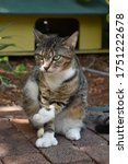 Small photo of Polydactyl (six-toed) cat with one toe pointing at the garden, a deep look anda a strong attitude. One of the legendary cats at Ernest Hemingway house and museum in Key West Florida.