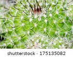close up of shaped cactus with...   Shutterstock . vector #175135082
