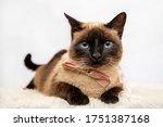 Pretty Siamese Cat Portrait....