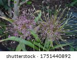 Small photo of Allium Schubertii in the garden. In pink-violet tones they seem to spurt out of the ball-shaped inflorescence on long, thin tubes. Berlin, Germany