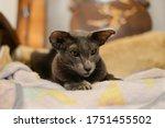 Oriental Shorthair Cat Sit On...