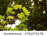 green leaves on a tree branch | Shutterstock . vector #1751473178