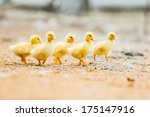 Group Of Little Yellow Ducklings