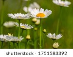 Beautiful Oxeye Daisy Flowers...