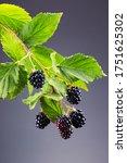 Wonderful Berry Blackberry On A ...