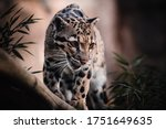 The Clouded Leopard Walk On The ...