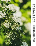Small photo of Spring blooming bush with many white flowers - Spirea (Spiraea cantoniensis). Van Houttes spiraea - Latin name - Spiraea x vanhouttei. Fresh spring background of nature outdoors.