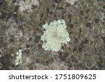 Closeup Of Light Green Lichen...