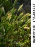 Close Up Of Wild Green Grass...