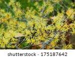 hamamelis virginiana  | Shutterstock . vector #175187642