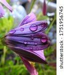 Purple Osteospermum Flower With ...